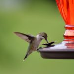 Hummingbird-on-feeder-with-green-background
